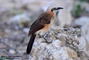 Bare-cheeked Babbler - Halali, Etosha, Namibia