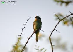 Blue-cheeked bee-eater enjoying the morning sun