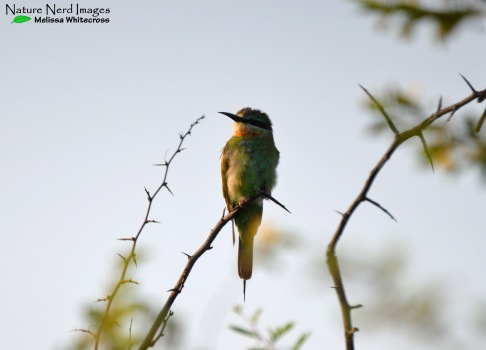 Blue-cheeked bee-eater enjoying the morning sun
