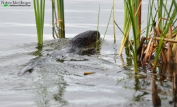One of several Cape clawless otters that were knocking around