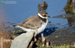 Another European migrant: the common ringed-plover