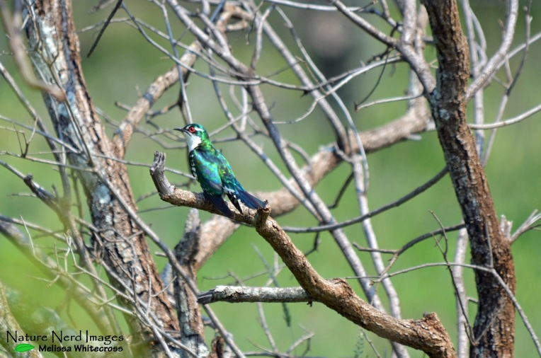 A handsome diderik cuckoo singing his heart out
