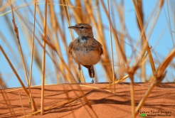 Dune lark surveying us