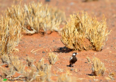 Grey-backed sparrow-lark in the red sand