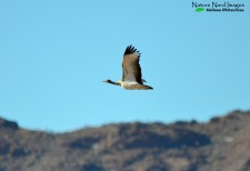 Ludwig's bustard on the way to Sossusvlei