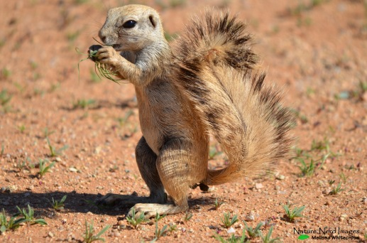 The extremely tame mountain ground squirrel