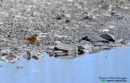 A gorgeous male orange-breasted waxbill, a little wetland jewel