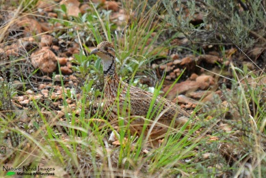 Orange River francolin hiding in the grass