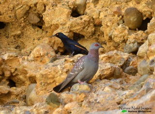 Speckled doves and pale-winged starlings nesting in Sesriem Canyon