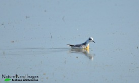 Red phalarope feeding