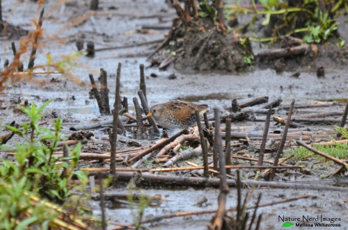 The star of the show: the spotted crake perfectly camouflaged with the mud and reeds