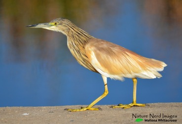 A squacco heron quietly surveying us