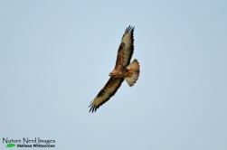 Soaring steppe buzzard