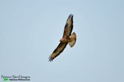 Soaring steppe buzzard