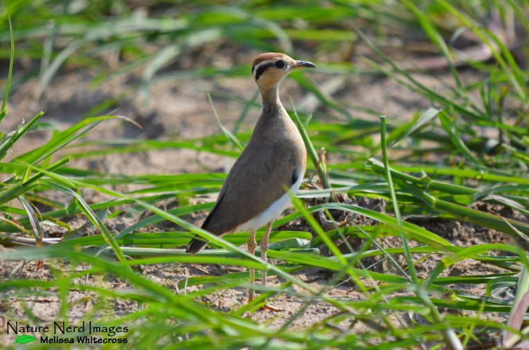 A very alert Temminck's courser