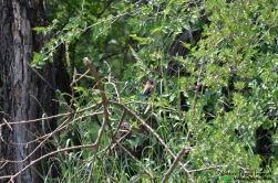 The diminutive violet-eared waxbill hopping through the brush