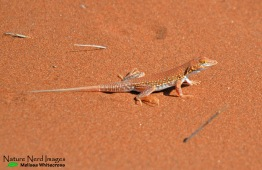 The lizard that distracted us