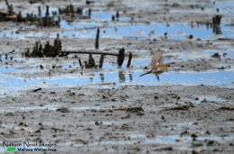Another uncommon species: the yellow wagtail foraging in the mud