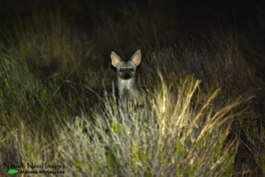 Aardwolf watching us