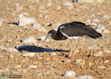 Abdim's stork sifting through poo