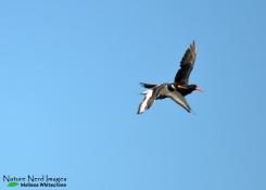 African Black chasing Eurasian Oystercatcher 0 - Walvis Bay, Namibia