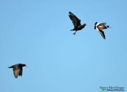 African black and Eurasian oystercatcher again