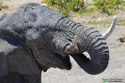 Big male African elephant