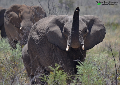 African elephant cow