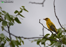 African golden oriole photo (missed him yesterday)