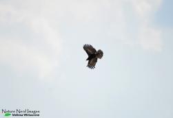 Young African harrier-hawk at Reitfontein