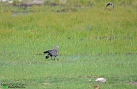 African harrier-hawk