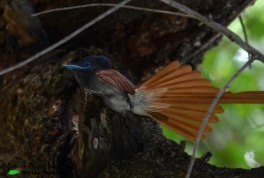 Gorgeous lady paradise flycatcher