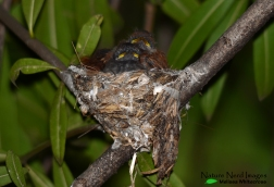 The resident paradise-flycatcher babies