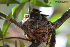 Baby African paradise flycatchers in their nest at the lodge