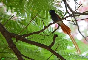 African Paradise Flycathcer - Makuti, Namibia
