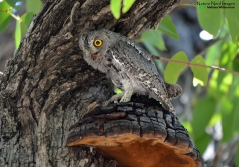 A VERY hot African scops owl