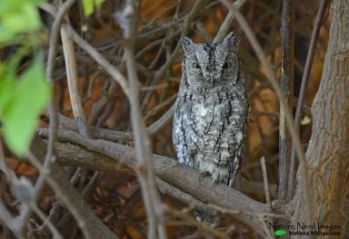 African scops owl roosting