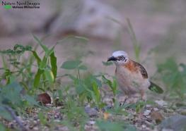 Bare-cheeked Babbler 2 - Halali, Etosha, Namibia
