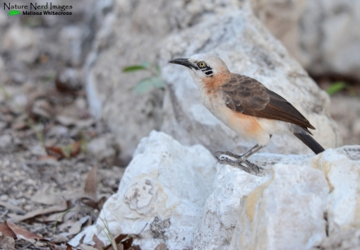 Bare-cheeked babbler on the white-rocks