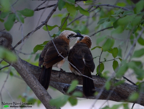Allopreening pair of babblers