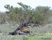 Big male lion...on a zebra kill