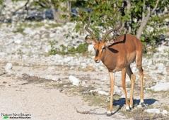 Black-faced impala
