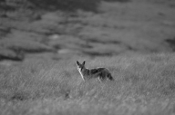 Jackal out in the veld