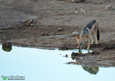 Black-backed jackal grabbing a drink