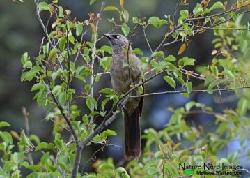 Black-faced Babbler 2 - Mokuti, Namibia