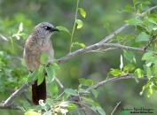 Black-faced Babbler 6 - Mokuti, Namibia