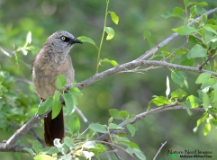 Black-faced Babbler 6 - Mokuti, Namibia