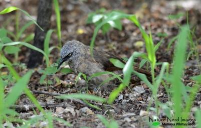 Black-faced Babbler 7 - Mokuti, Namibia