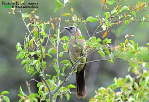The beautiful black-faced babbler
