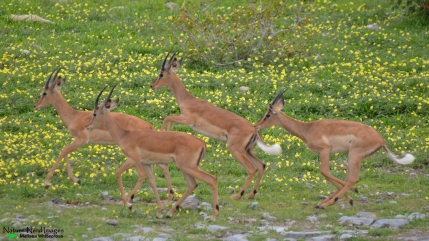 Black-faced impalas (young males)
